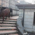 Cavalli a scuola, trambusto a Gandino